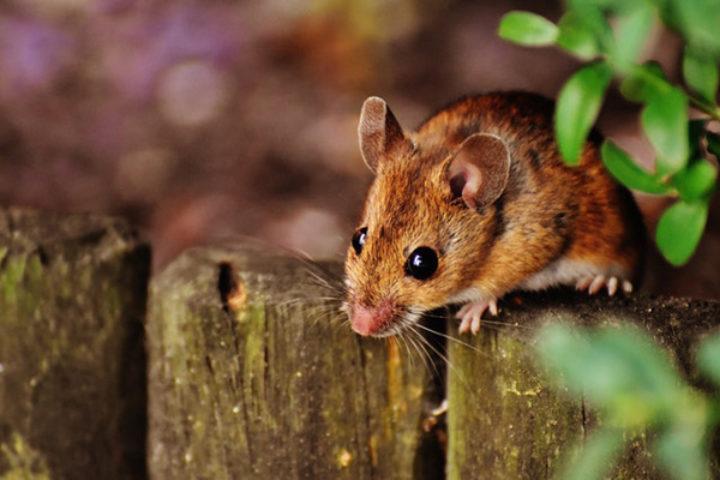 Manglende opplysninger om mus eller andre skadedyr